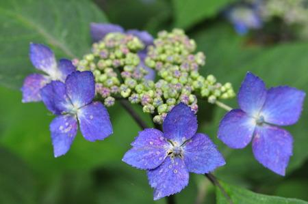 hydrangeaceae: Miyamakrohime Stock Photo