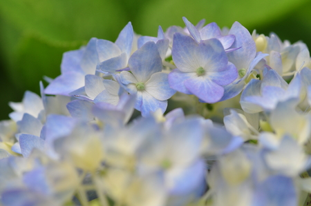 hydrangeaceae: Hymeazisay