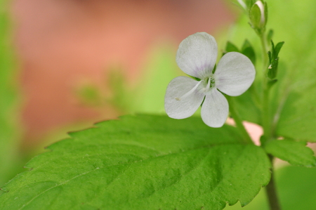 veronica flower: Veronica Mars