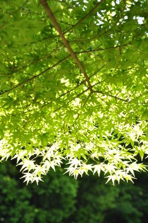 aceraceae: Fresh green