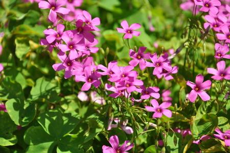 oxalidaceae: Corniculata