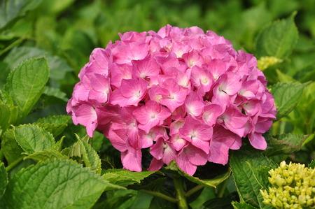 flesh: Hydrangea pink flesh