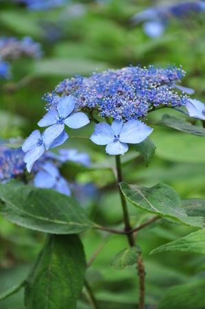 hydrangeaceae: Hydrangea crohymeazisay
