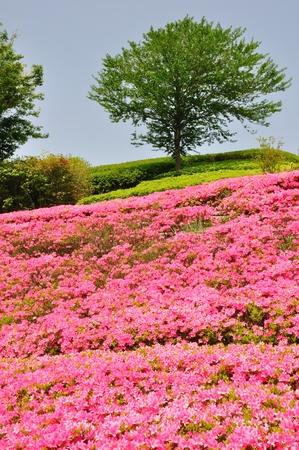 ericaceae: Blooming azalea Hill