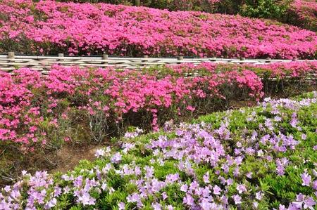 ericaceae: Azalea park Stock Photo
