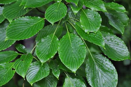 dogwood: Dogwood leaves Stock Photo