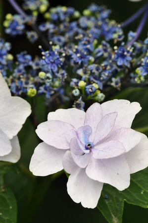 hydrangeaceae: Hydrangea Mihara Yaesu