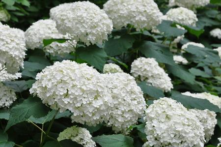hydrangeaceae: Hydrangea Annabelle