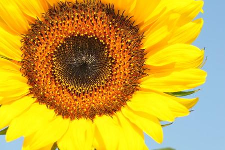 adoration: Sunflower