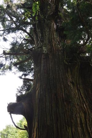cedro: Yatate Cedar