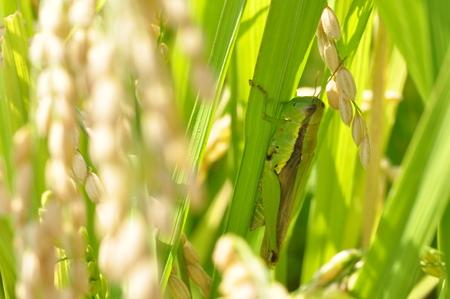 langosta: El arroz y la langosta Foto de archivo
