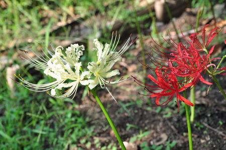 radiata: Lycoris radiata and on Lycoris albiflora Stock Photo