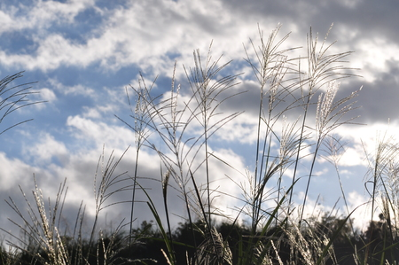 pampas: Japanese pampas grass glowing in the afternoon sun