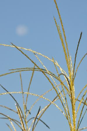 pampas: Japanese pampas grass