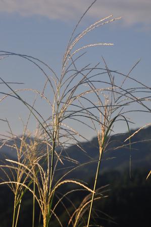 pampas: Asahi Japanese pampas grass Stock Photo