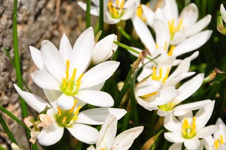 jade plant: Zephyranthes Candida