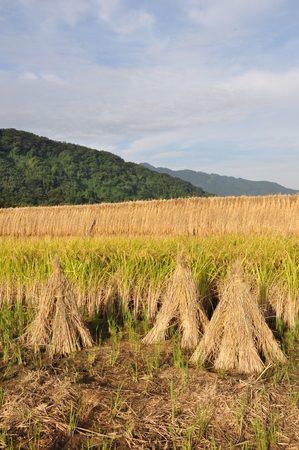 harvest field: Dried rice straw and rice