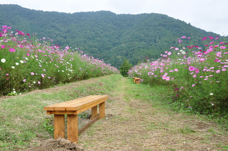 resting: Resting with Cosmos field