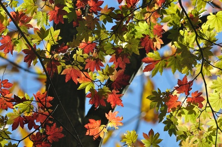 aceraceae: Red leaves of Japanese maple Stock Photo