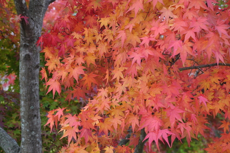 acer palmatum: Acer palmatum blushes Stock Photo