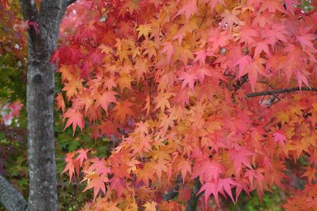 acer: Acer palmatum blushes Stock Photo