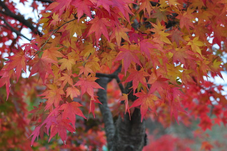 acer palmatum: Acer palmatum blushes Stock Photo