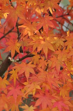 palmatum: Acer palmatum blushes Stock Photo