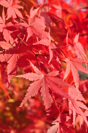 aceraceae: Red fall foliage