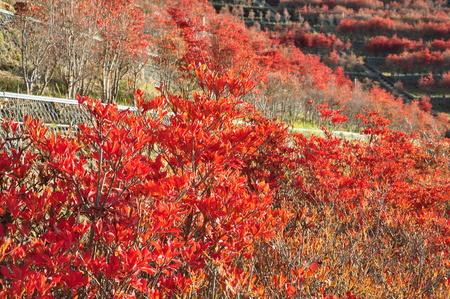 ericaceae: Azaleas: autumn leaves
