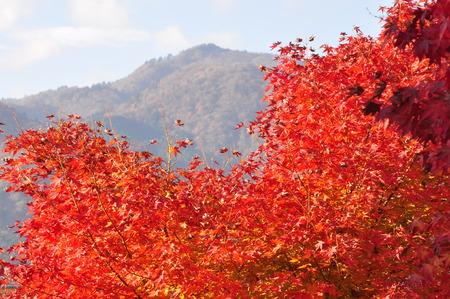 aceraceae: Autumn Lake miyagase