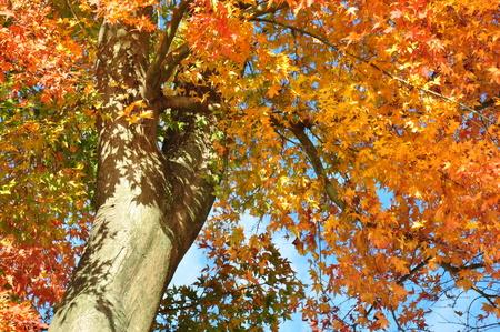 acer palmatum: Japanese maple leaves