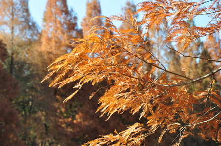 hinoki: Foliage of Metasequoia Stock Photo