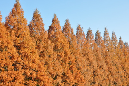 metasequoia: Foliage of Metasequoia Stock Photo