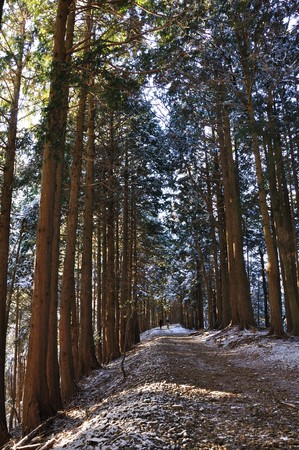 cedars: Trail of the Cedars