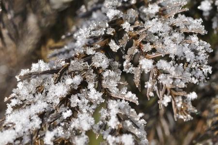 cedro: Icy Cedar Foto de archivo