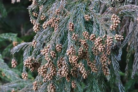 silva: Japanese cedar pollen Stock Photo