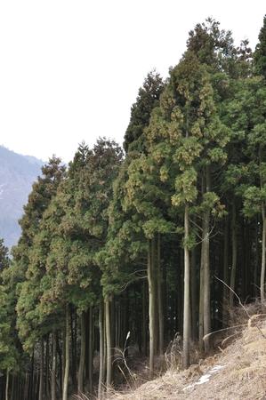 silva: Cedar trees