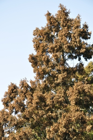 cedro: polen de cedro japon�s