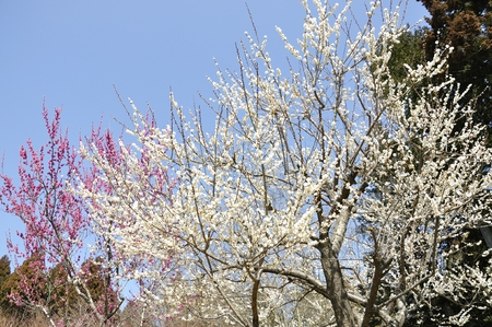 plum grove: Plum blossoms