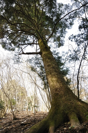 fir: Fir tree