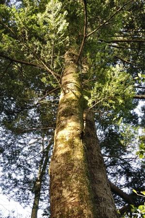 pinaceae: Fir tree