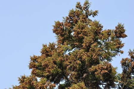 silva: Japanese cedar