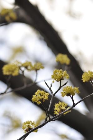officinalis: Cornus officinalis
