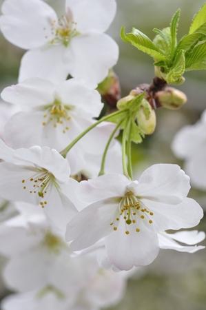 prunus: Prunus Speciosa Stock Photo
