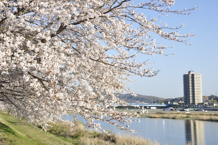 riverside trees: Banks of the cherry blossoms bloom Stock Photo