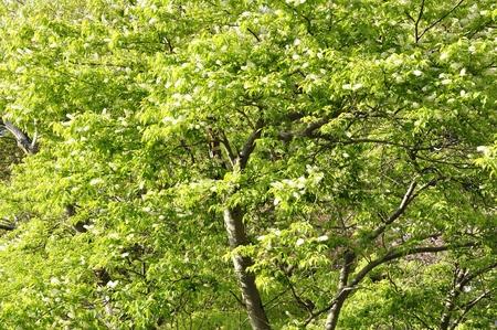 prunus: Prunus grayana