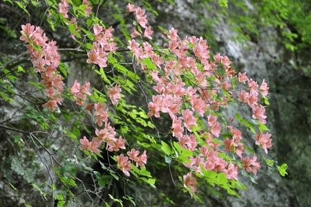 ericaceae: R. kaempferi