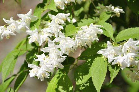 hydrangeaceae: Deutzia Stock Photo
