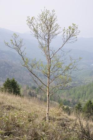 Betula ermanii Sasahara 版權商用圖片