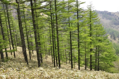 pinaceae: Larch forest